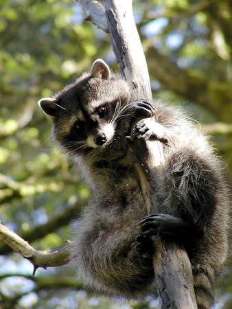racoon: Curious racoon w północno-zachodniej Track Park Zdjęcie Seryjne