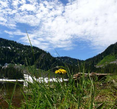 dandelion snow: Dandelion in mountains