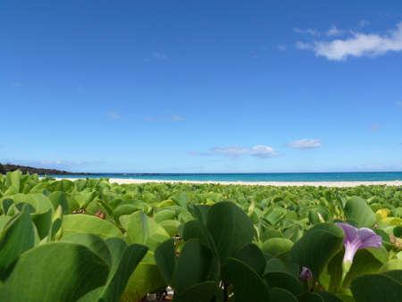 Pohuehue  on Big Island, Hawaii photo