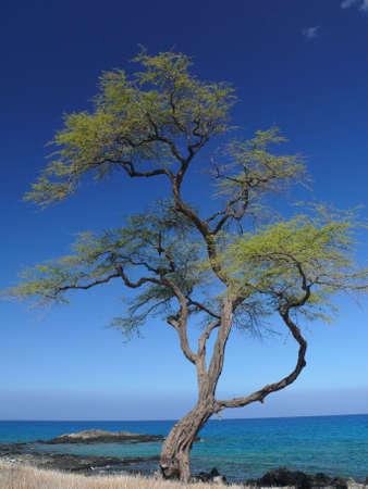 bazalt: Beautiful tree on King trail, Big Island, Hawaii