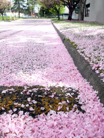 Road under cherry  flowers photo