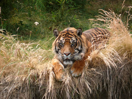 Sumatra tiger in Point Defiance Zoo Stock Photo - 5161188