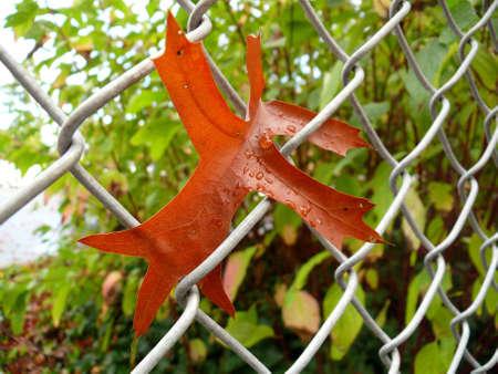 mesh: Oak leaf in a mesh