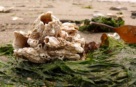 Barnacles n Double Bluff Beach photo