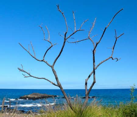 bazalt: Alone dry tree near Kaunaoa Beach, Hawaii