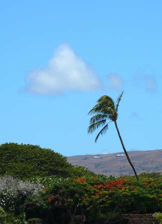 bazalt: Palm tree near Kaunaoa Beach, Hawaii