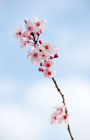 Blooming sakura tree single branch  photo