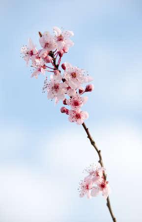 sakura arbol: Flor sakura �nica rama  Foto de archivo