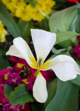 fading: Fading white tulip Stock Photo