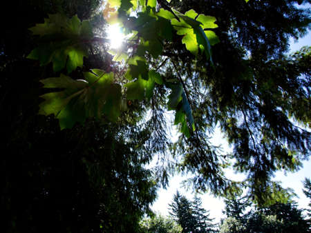 cicuta: Eastern hemlocks and  maples in sun highlights in St Edward park in Kirkland, WA