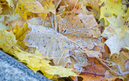 the road surface: Frozen maple leaves cover road surface Stock Photo