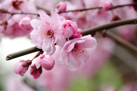 plum blossom: Broken  blooming cherry branch Stock Photo