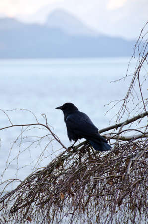 Crow watching sunrise at Harrison lake Stock Photo - 13149976