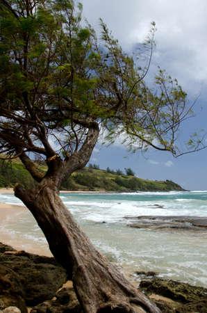 ironwood: Ironwood at Moloaa Beach , North Shore, Kauai