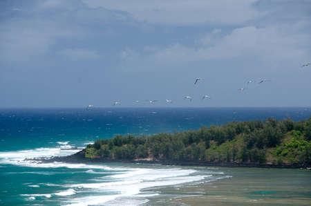 ironwood: Laysan albatross flock glides over Larsens beach lagoon, North shore Kauai