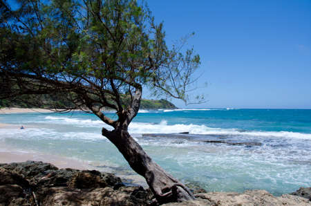 ironwood: Ironwood tree at Moloaa beach, Kauai