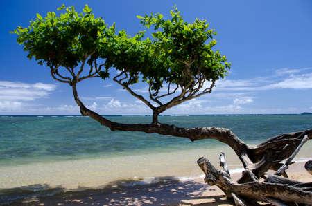 breakaway: Beautiful  small heliotrope tree cast a shadow over water at Anini beach, North shore, Kauai
