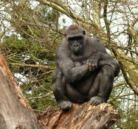 human evolution: Thoughtful gorilla on a tree