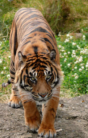 defiance: Sumatra tiger in Point Defiance Zoo