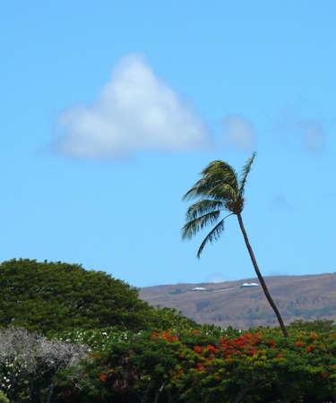 bazalt: Palm tree near Kauna Stock Photo