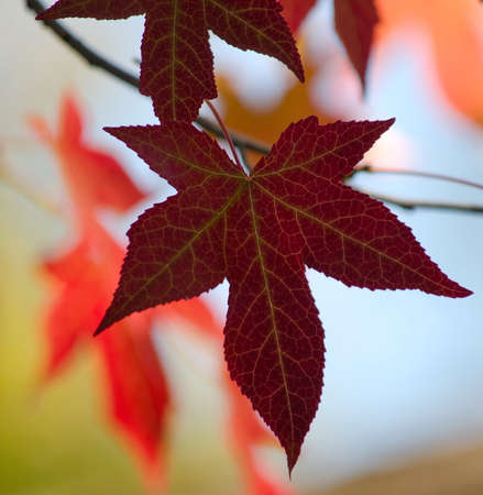 momiji: Japanese red maple leaves in Woodland Zoo, Seattle