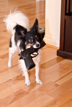 bb gun: Papillon carrying toy gun Stock Photo