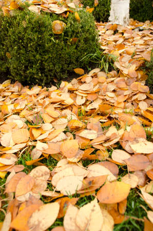 Trail on a lawn covered by yellow leaves  Stock Photo - 16212183
