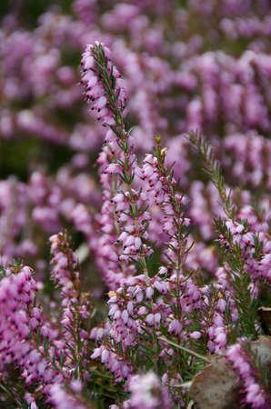 erica: Blooming heather