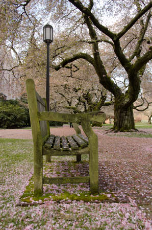 streetlamp: Bench in a campus park covered by cherry petals
