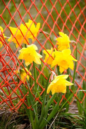 mesh: Daffodils  caught by orange mesh