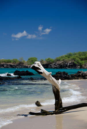 drywood: Beautiful  dry trees and surf at Puako beach, Big Island, Hawaii