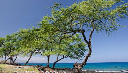 bazalt: Angled row of trees at King Trail near Kaunaoa beach