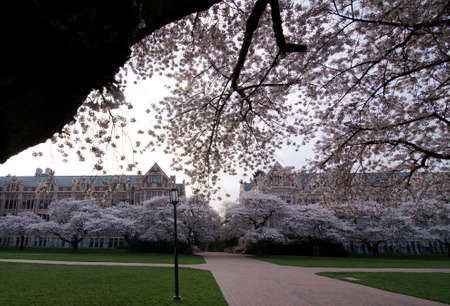 Blooming cherry tree frames a campus square Stock Photo