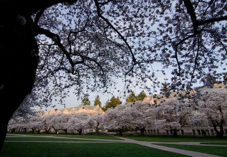 quad: Entry to UW campus Quad during cherry blooming season