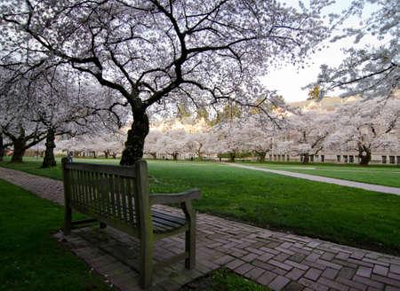 quad: Bench in Quad of UW campus, during cherry blossom Stock Photo