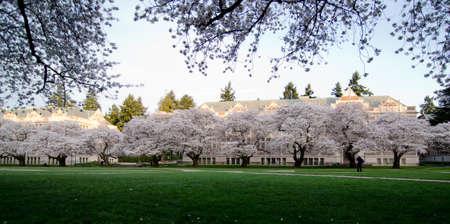 quad: Quad of UW campus, during cherry blossom