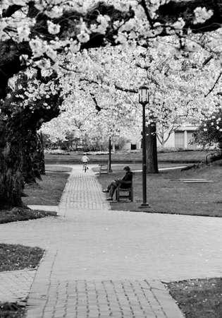 quad: Reader in Quad, UW campus, at peak of cherry blossom