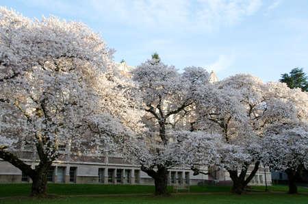 quad: Row of sakuras in the Quad, UW campus
