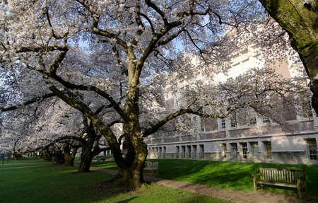 quad: Cherry blossom craziness in the Quad of UW campus