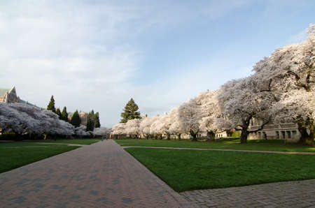 quad: Red brick between two rows of blooming sakuras in the Quad of UW campus