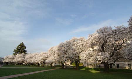 quad: Red brick path to blooming sakuras in the Quad of UW campus