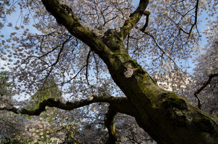Old cherry tree in full blossom