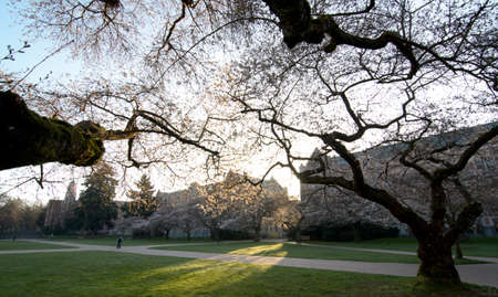 Sunrise in Quad at the beginning of cherry blooming season, Seattle