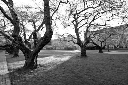 quad: Sunrise in Quad at the very beginning of cherry blooming season, in black and white