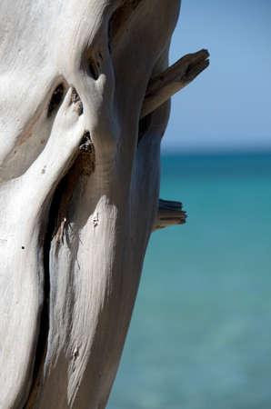 drywood: Bright white dry wood trunk at Beach 69, Waialea, Big Island