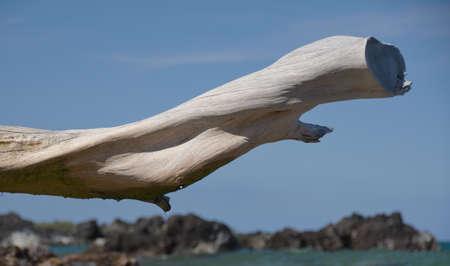 big island: White dry wood branch framing lava rocks at Beach 69, Waialea, Big Island Stock Photo