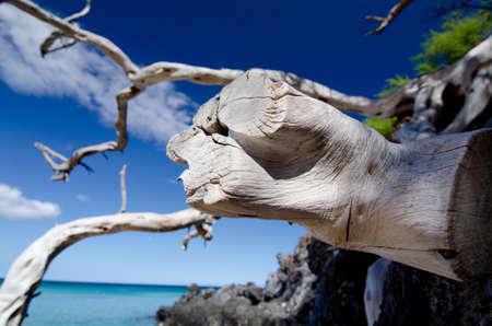 drywood: Web of dry wood branches over lava rocks at Beach 69, , Waialea, Big Island Stock Photo