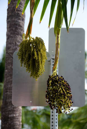 berry: Acai berry on a tree in front of a traffic sign in Kailua Kona town center Big Island