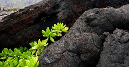 obrero: Naupaka Kahakai rompe a través del campo de lava, Parque estatal volcán, Big Island, Hawai Foto de archivo