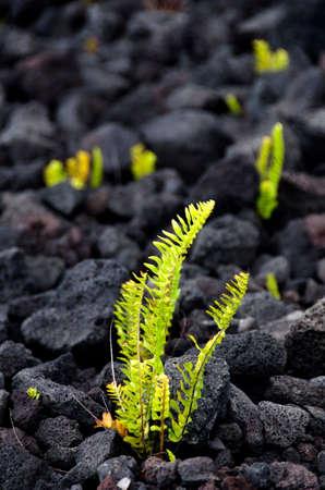 lava field: Amau fern breaks through lava field near Chain of Craters road, Volcano State Park, Big Island, Hawaii